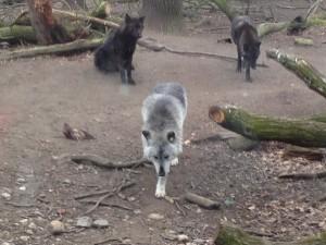 Wölfe der Zoom Erlebniswelt