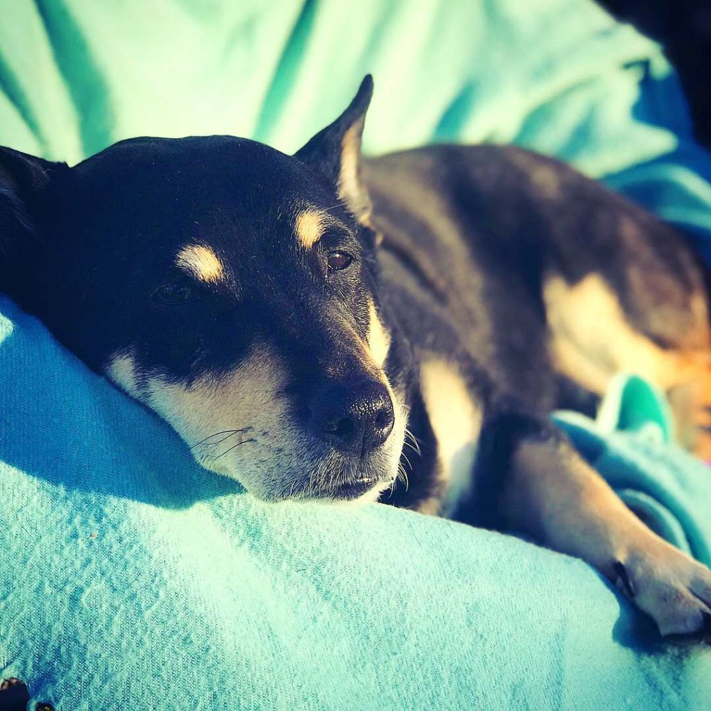 Schlafender Camping Hund