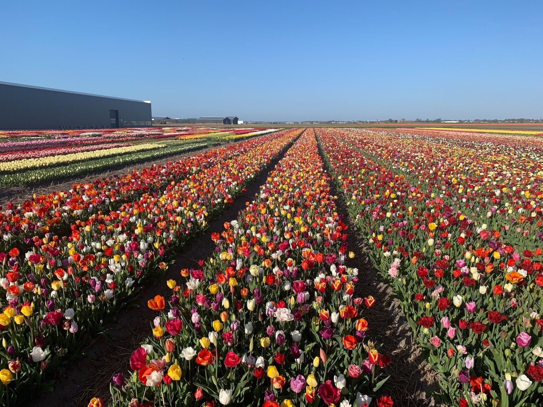 Tulpen zum selber Pflücken Holland