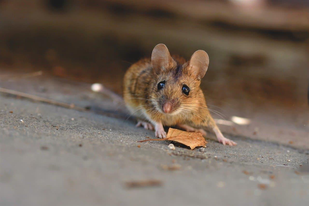 Mäuse oder Ratten im Wohnwagen