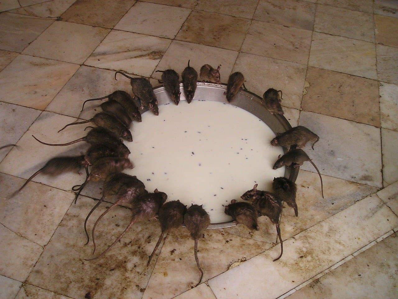 Angst vor Mäusen und Ratten
